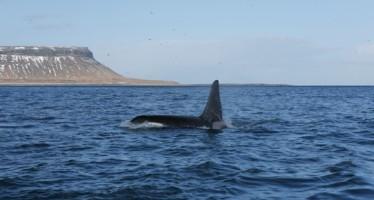 Mergulho no Ártico com baleias Orcas